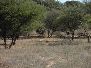 Kalahari bush