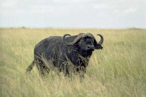 Bufalo en la sabana