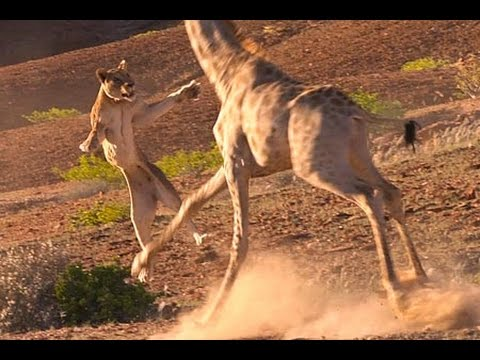 leona ataca jirafa