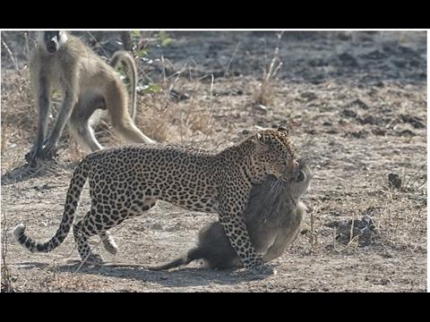 Bowhunting baboon