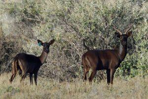 Pareja de impalas Negros en Spitskop Safaris