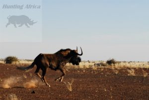 Black wildebest