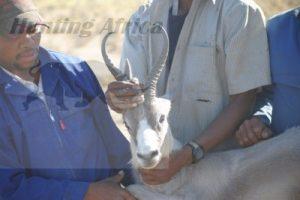 blue springbok