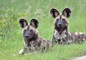 Licaones o perros salvajes africanos