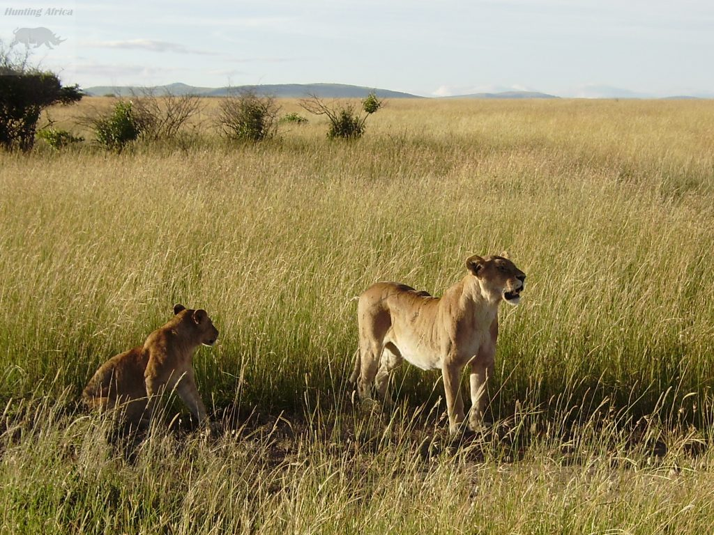 Lioness attacks warthog