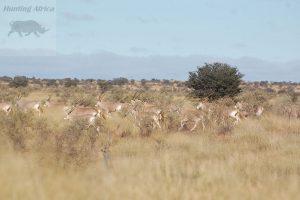 golden Oryx Spitskop