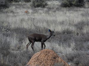 Impala Negro macho joven