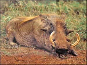 bowhunting warthog