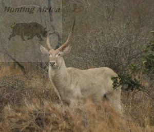 white waterbuck