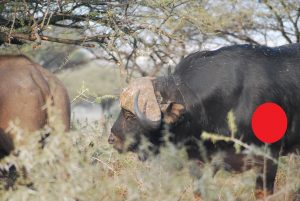 boss buffalo