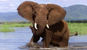 Elephant is the image of Conservationist